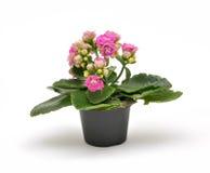 Small kalanchoe flowerpot Royalty Free Stock Photo
