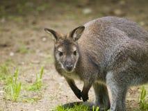Small kangaroo Stock Image
