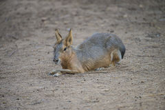 Small kangaroo (Macropodidae) Royalty Free Stock Images