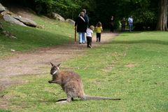Small kangaroo in a natural park Stock Photography