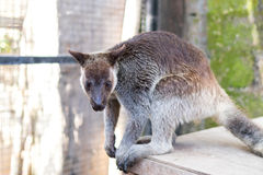 Small Kangaroo in the park of Bali island, Indonesia. Stock Photography