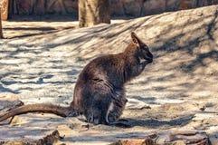 Small Kangaroo Royalty Free Stock Images