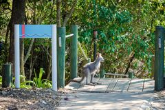 A small kangaroo or wallaby stands and looks aside in the nation. Al park of Australia royalty free stock photos