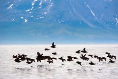 Small kanyugi. A flock of small kanyug flying over the sea surface in the background of the high bank of the island Royalty Free Stock Images
