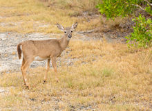 Small Key Deer in woods Florida Keys Stock Images