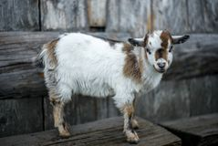A small kid goat on the Swiss Alps stock images