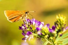 Small kipper butterfly. On flower Stock Photos