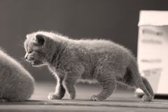 Small kitte walks on a wooden background,
