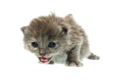 The small kitten Royalty Free Stock Photo