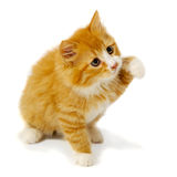 Small kitten Royalty Free Stock Image