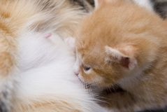 Small kitten. Small red kitten. first look to the world Stock Photos