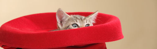 Small kitten. Small kiten in a red hat panoramic crop Stock Photography