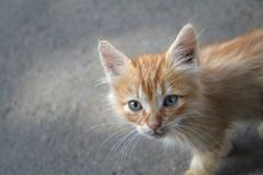 Small kitten. Small red kitten from Morocco Royalty Free Stock Photos
