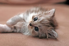 Small kitten. A small cute kitten lie on sofa and looking at camera royalty free stock images