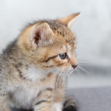 A small kitten Royalty Free Stock Image