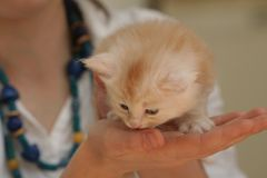 Small kitten Royalty Free Stock Photo