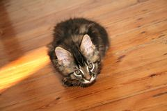Small kitten. Small black kitten of Maine Coon royalty free stock photography