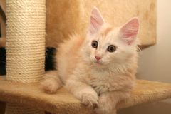 Small kitten. Small white kitten of Maine Coon stock photography