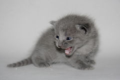 Small kitten Royalty Free Stock Images