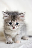 Small kitten Royalty Free Stock Photos