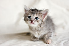 Small kitten Stock Image