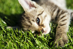 Small kitten Royalty Free Stock Image
