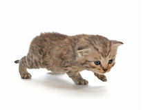 Small kitten. On a white background Royalty Free Stock Image