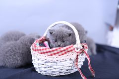 Small kitten in a basket, blue background. Cute kitten in a basket, British Shorthair cats, copyspace, studio photo session stock image