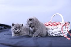 Small kitten in a basket, blue background. Cute kitten in a basket, British Shorthair cats, copyspace, studio photo session stock photos