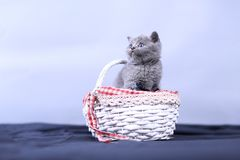 Small kitten in a basket, blue background. Cute kitten in a basket, British Shorthair cats, copyspace, studio photo session royalty free stock image