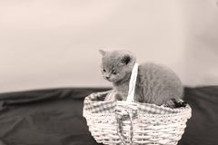 Small kitten in a basket. Cute kitten sitting in the basket, British Shorthair cats, copyspace, black background royalty free stock photography