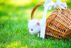 Small kitten in basket. Little white kitten in a basket on the grass Stock Image