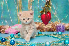 Small  kitten beige color and Christmas Royalty Free Stock Photos