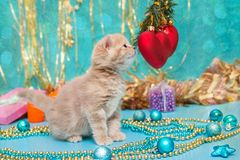 Small  kitten beige color and Christmas Stock Photography