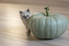 Small kitten and a big pumpkin royalty free stock photography
