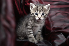 Small Kitten on a black-red background. Royalty Free Stock Photography