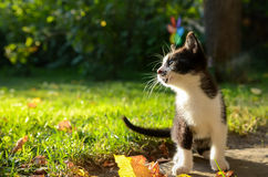 Small Kitten. Black and white kitten playing on the grass close up Stock Photo
