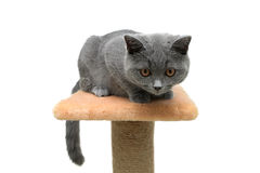 Small kitten ((breed Scottish Straight) on white background Royalty Free Stock Photography
