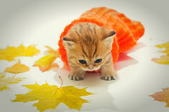Small kitten the British breed, and dry leaves. Royalty Free Stock Photo