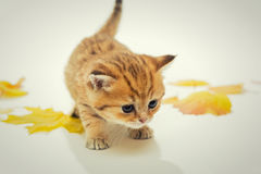 Small kitten the British breed, and dry leaves. Royalty Free Stock Image