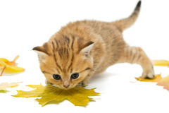 Small kitten the British breed, and dry leaves. Royalty Free Stock Photography