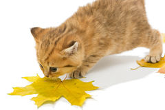 Small kitten the British breed, and dry leaves. Stock Photo