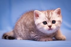 A small kitten of the British breed of gray-white color. Lies on a blue background and looks at the camera stock images