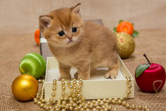 Small  kitten of the British breed Stock Image