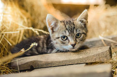 Small Kitten. Brown kitten laying on the straw close up Stock Photography