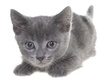 Small kitten crawling sneaking isolated. On a white background Royalty Free Stock Photo