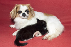 Small kitten and dog Stock Image