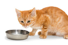 Small kitten drinks milk. Is isolated on a white background Royalty Free Stock Image