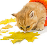 Small kitten  and dry leaves Stock Photo