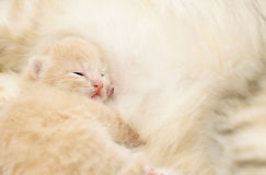 Small kitten after eating Royalty Free Stock Photography